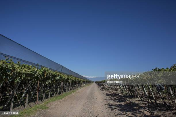 The Bodega Santa Julia Finca Maipu vineyard stands in Mendoza Argentina on Tuesday March 23 2017 The Argentine wine industry is fifth worldwide in...