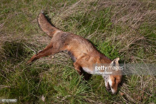 The body of a dead fox lying in grass on farmland on 3rd April in Hadlow Kent England The animal appeared very healthy with no visible injuries and...