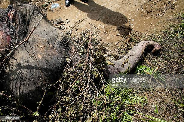 The body of a rare Sumatran elephant lies on road along a palm oil plantation in Aceh Jaya in Aceh province on May 1 2012 Conflicts between humans...