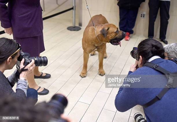 The Boerboel breed debuts at 140th Annual Westminster Kennel Club Dog Show Meet The New Breeds at Madison Square Garden on January 21 2016 in New...