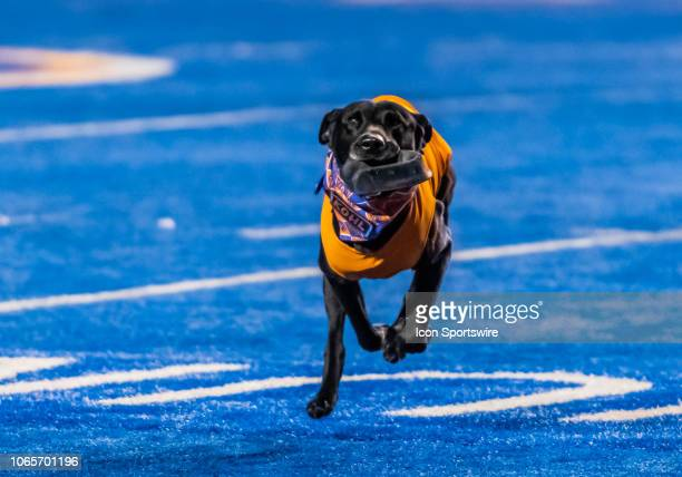 The Boise State Broncos tee retriever 'Kohl' runs off the field after the opening kickoff by the Broncos during the game between the Utah State...
