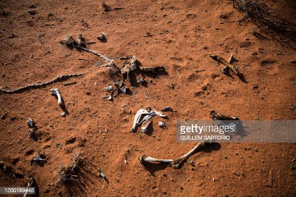 The bones of a dead animal lie on the ground of the Thuru Lodge game farm near Groblershoop on January 15 2020 In the Northern Cape Province of South...