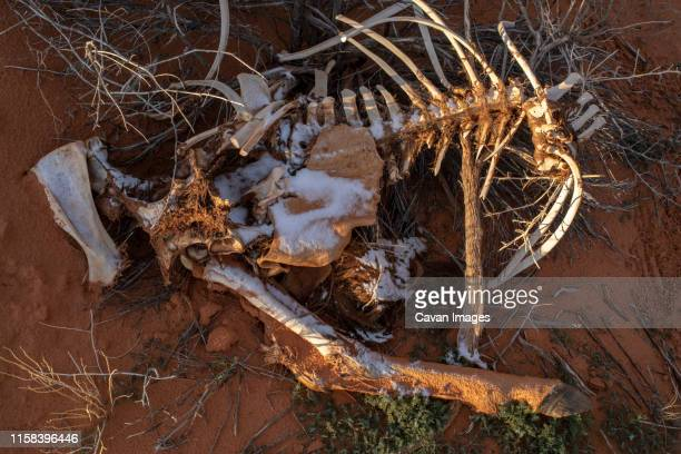 the bones of a dead horse rest in the elements of the winter desert - animal rib cage stock photos and pictures
