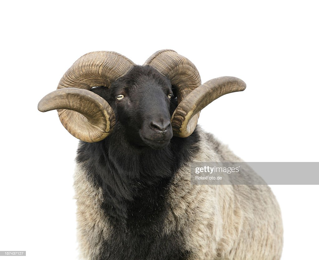 The boss -  Ram with twisted horns isolated on white : Stock Photo