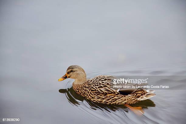 The bostonian duck