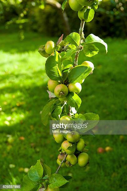 the bough of an apple tree laden and bowed down with fruits. - fruit laden trees stock pictures, royalty-free photos & images