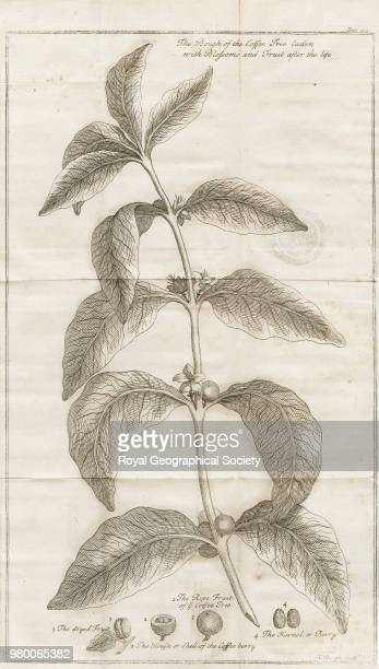 The bough of the coffee tree laden with blossoms and fruit after the life, From 'A voyage to Arabia the happy, by the way of the Eastern Ocean, and...