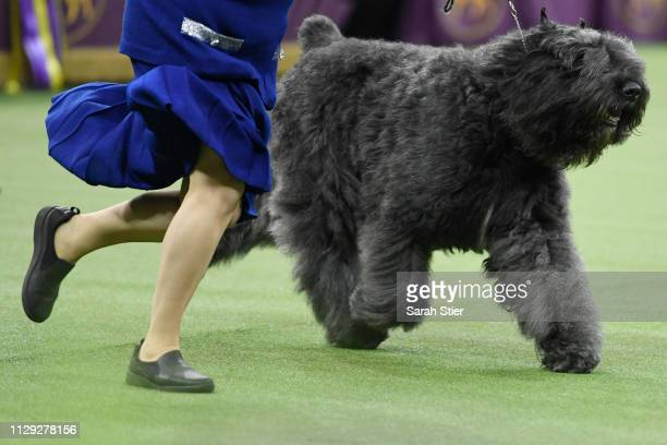 The Bouvier des Flandres 'Quiche's Major League' competes in Best in Show at the 143rd Westminster Kennel Club Dog Show at Madison Square Garden on...