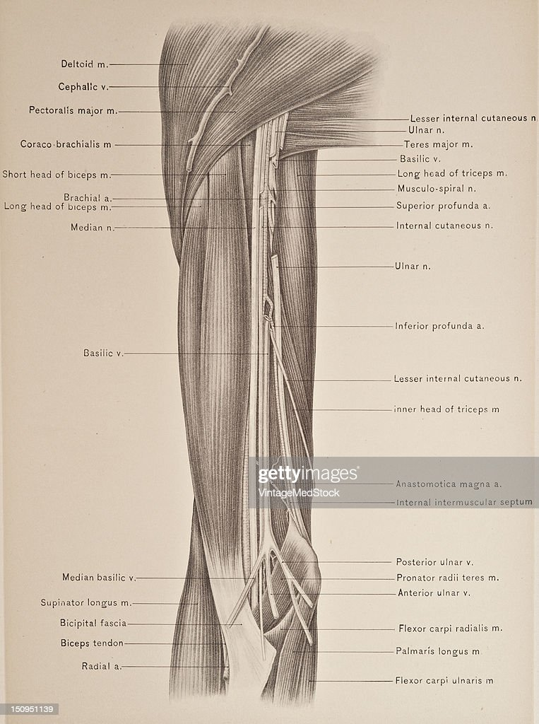 Brachial Artery Biceps Muscle Pictures Getty Images