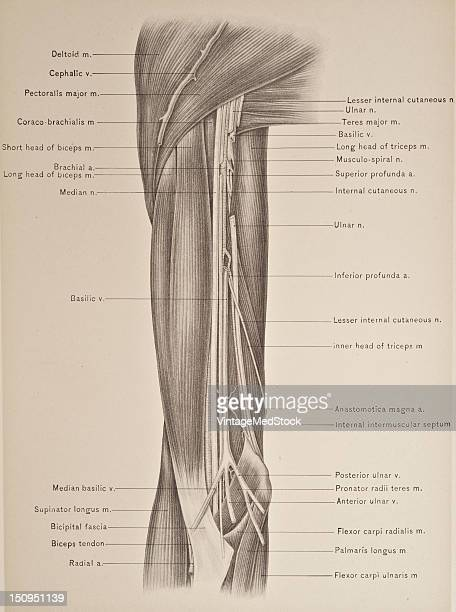 Brachial Artery Stock Photos And Pictures Getty Images