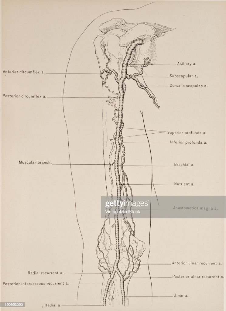 Brachial Artery Branches Pictures Getty Images