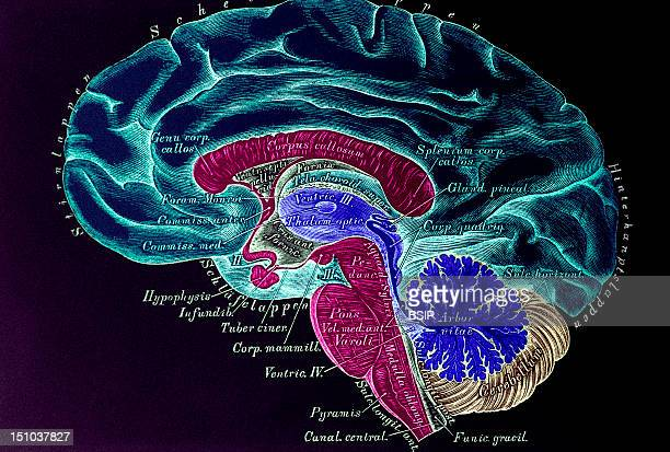 The Brain Is Constituted Of 2 Hemispheres Linked By Nerve Fibers Corpus Callosum With The Brain Stem And The Cerebellum Joined In Back Derivation...