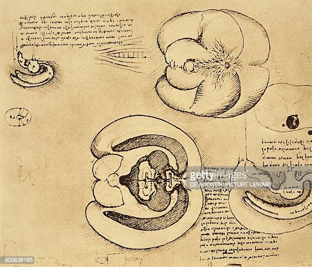 The brain of an ox injected to demonstrate the shape of the cerebral ventricles 15081510 drawing by Leonardo da Vinci from Quaderni di anatomia...