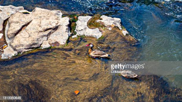 the brazilian teal or brazilian duck. - crmacedonio stock pictures, royalty-free photos & images