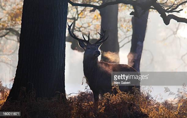 the breath of a red deer buck, cervus elaphus, in winter. - alex saberi stock-fotos und bilder