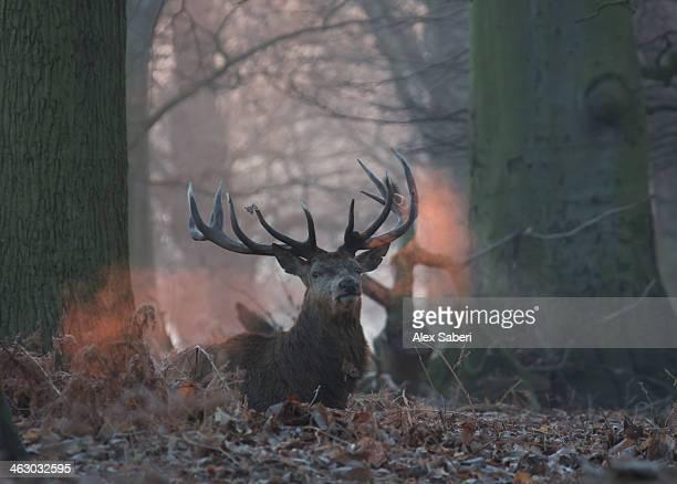 the breath of a red deer buck, cervus elaphus, in winter. - alex saberi bildbanksfoton och bilder