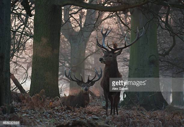 the breath of a red deer stag, cervus elaphus, in winter. - alex saberi stock pictures, royalty-free photos & images