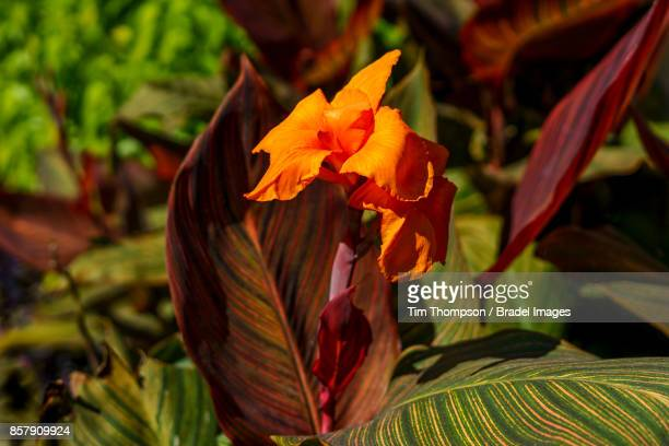 The bright orange flower of the cannas plant is in full bloom