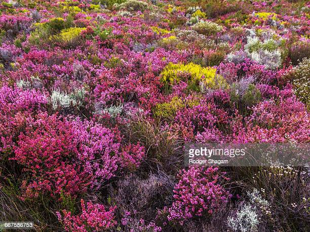 the bright variety of colours of the indigenous winter fynbos. western cape floral kingdom. wild flowers, table mountain, cape town, south africa. - fynbos fotografías e imágenes de stock