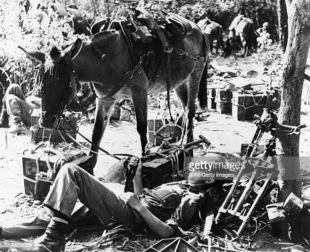The British Army In Burma 1944 Soldiers of 4th Corps rest with their mules after crossing the Chindwin River near Sittaung before pushing east to...