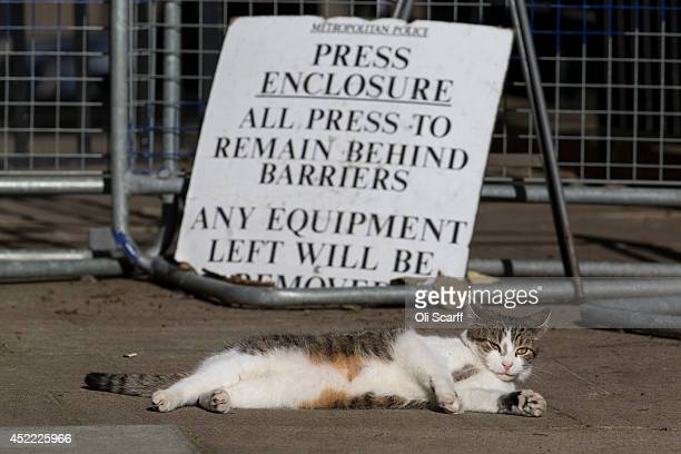 The British Prime Minister David Cameron's cat Larry relaxes in the sunshine in the press enclosure in Downing Street on July 16 2014 in London...