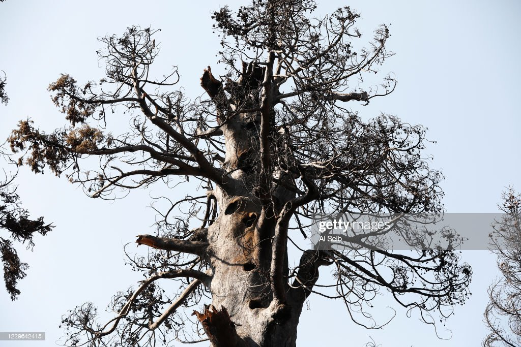 The ecological impacts of the Castle fire on giant sequoia groves in the Alder Creek Grove and the neighboring Giant Sequoia National Monument. : ニュース写真