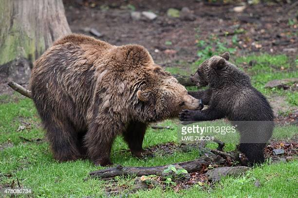 The brown bear cub Alexa frolicking with her mother Onni on June 22 2015 in the wildlife park Knuell in Homberg west Germany Brown bears and wolves...