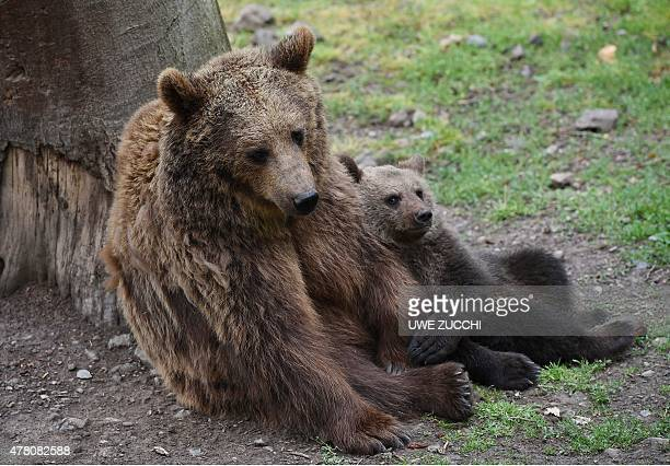 The brown bear cub Alexa nestles up against her mother Onni on June 22 2015 in the wildlife park Knuell in Homberg west Germany Brown bears and...