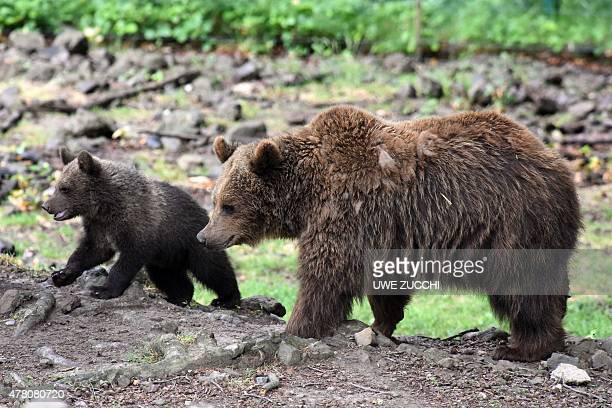 The brown bear cub Alexa wandering with her mother Onni on June 22 2015 in the wildlife park Knuell in Homberg west Germany Brown bears and wolves...