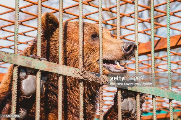the brown bear holds on to the metal rods of the cage with its paws. keeping a wild animal - bear stock pictures, royalty-free photos & images