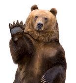 The brown bear welcomes (Ursus arctos).