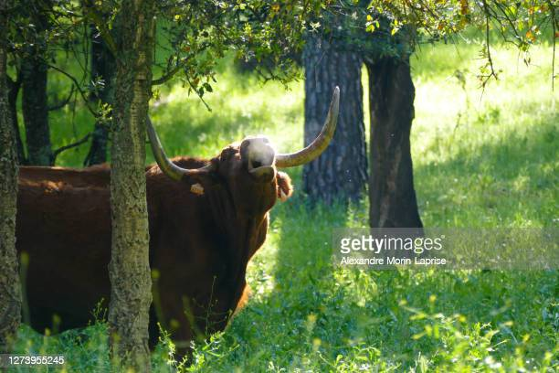 the brown bull mooing in a green field - cow mooing stock pictures, royalty-free photos & images