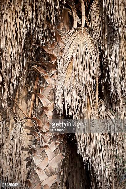 The brown fronds of a date palm tree