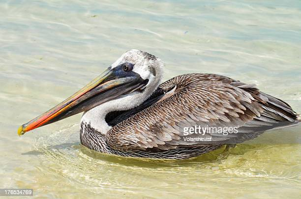 The Brown Pelican from Galapagos on the water