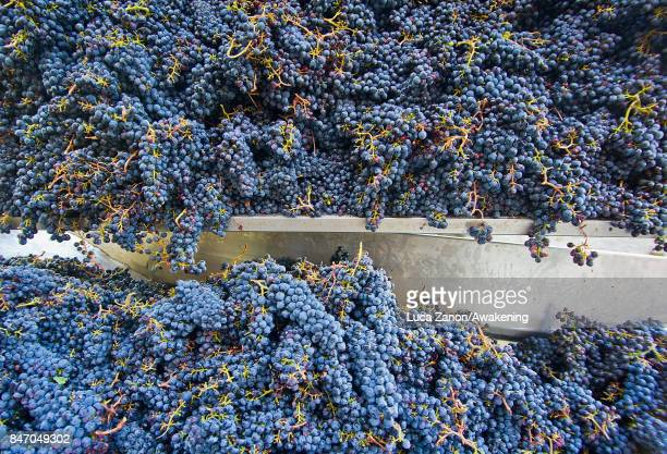 The Brunello grapes are seen at the winery on September 14, 2017 in Montalcino, Italy. Brunello di Montalcino is one of Italy's most prestigious and...