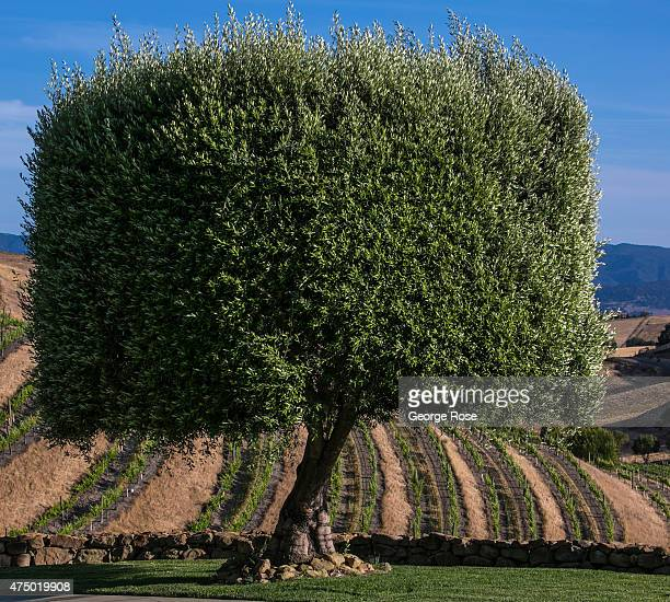 The bucolic Ballard Canyon, with its mix of grape vineyards and cattle ranches, is viewed on April 24 in Los Olivos, California. Because of its close...