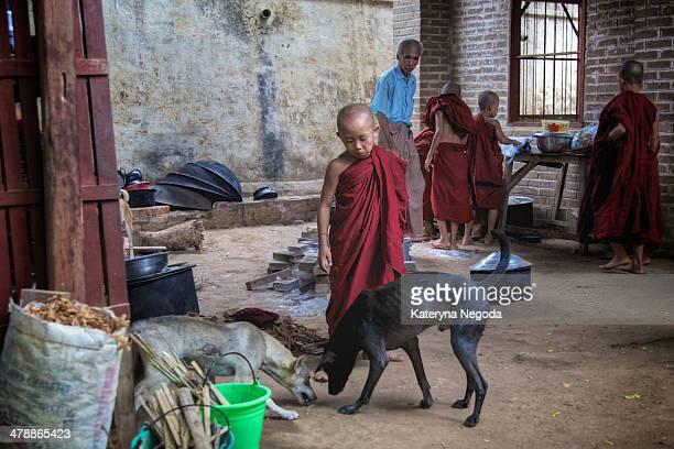 The Buddhist monastic school, Bagan, Myanmar.Child monk feeding dogs after lunch.