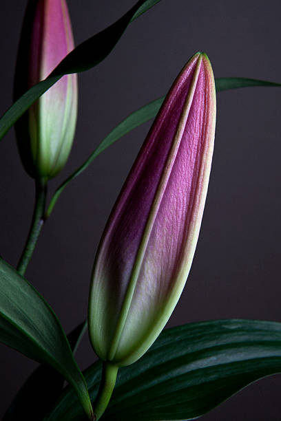 The buds of two Easter Lilies (Lilium Longiflorum) waiting to bloom, close-up
