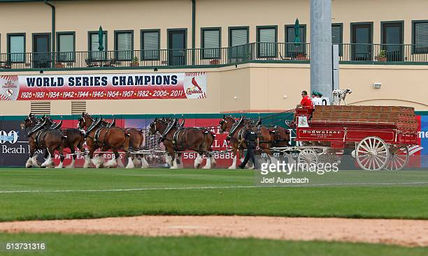 The Budweiser clydesdale horses are driven along the warning track in the middle of the fifth inning of a spring training game between the St Louis...