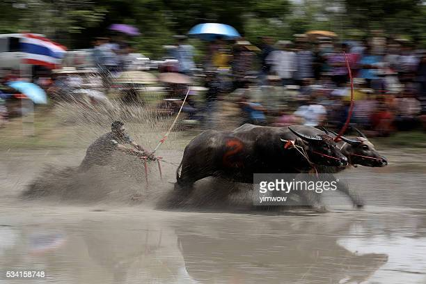 The buffalo racing and showing traditional in Thailand