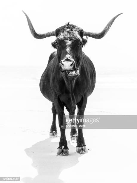 the bull - vertebrate stock pictures, royalty-free photos & images