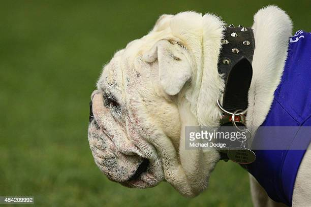 The Bulldog mascot looks upfield during the round 20 AFL match between the Western Bulldogs and Melbourne Demons at Etihad Stadium on August 16 2015...