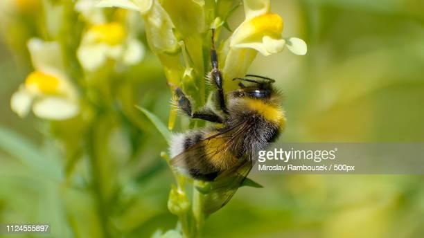 the bumblebee field. - 養蜂 ストックフォトと画像