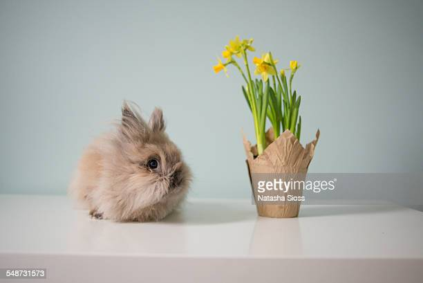 The bunny and the daffodils