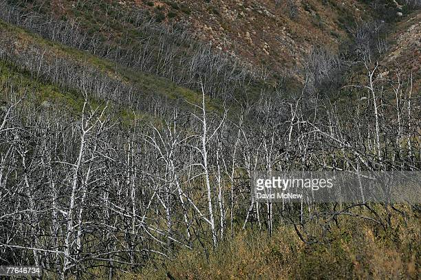 The burnt remains of a forest of rare Tecate cypress trees killed in the 2003 Cypress Fire stand in the Otay Mountains near the USMexico border...