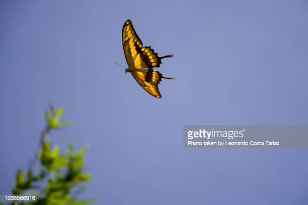 the butterfly flight - leonardo costa farias stock photos and pictures