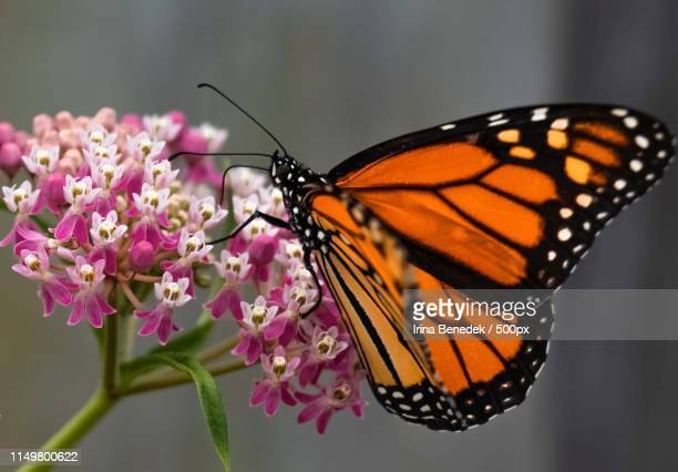 the butterfly - milkweed stock pictures, royalty-free photos & images