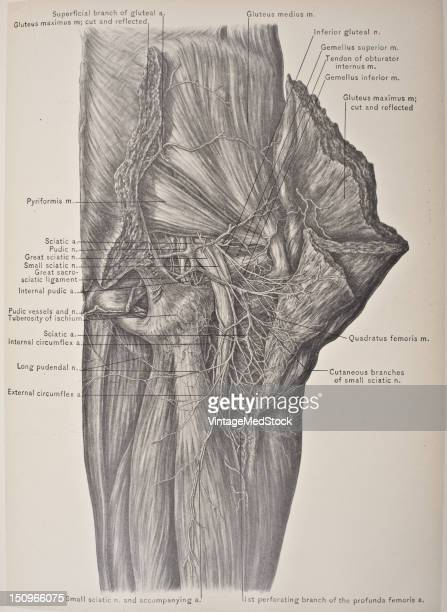 The buttocks are formed by the masses of the gluteal muscles or 'glutes' superimposed by a layer of fat 1903 From 'Surgical Anatomy The Treatise of...
