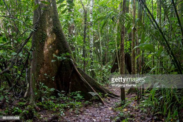 The buttress roots of a tree in the rain forest at La Selva Lodge near Coca Ecuador