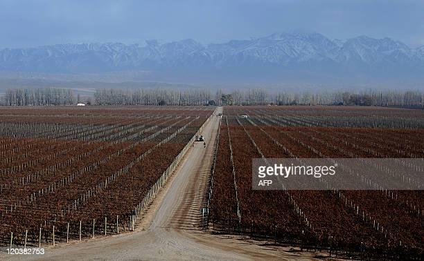 The cabernet sauvignon grapes vineyard of the Catena Zapata winery in Lujan de Cuyo province of Mendoza Argentina on July 14 2011 Argentina's wine...